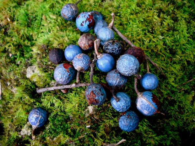 fruit of Elaeocarpus joga... green fruit appear an irridescent blue due to the shape of the fruits epidermal cells (Stone.1970)