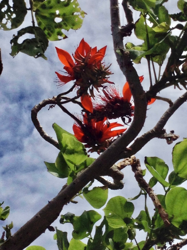 Erythrina variegata refuge